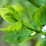 Feuilles vert tendre d'une plante